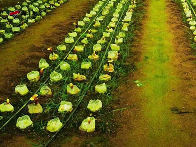 灵芝孢子粉,OEM代工,灵芝孢子粉服务商,灵芝孢子粉生产商