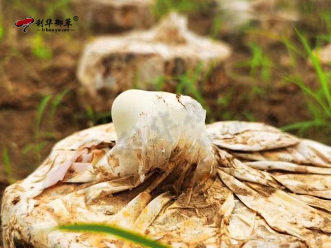 灵芝孢子粉,利华御草,灵芝孢子粉招商