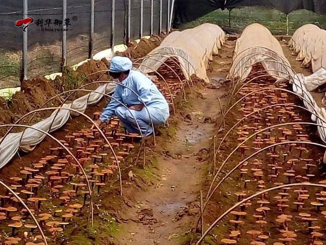 灵芝孢子粉市场,灵芝孢子粉