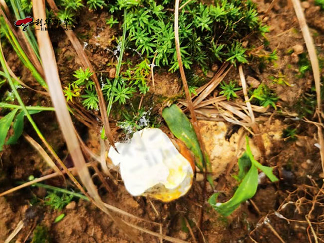 灵芝孢子粉,破壁灵芝孢子粉,利华御草
